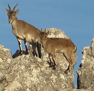 Die Bergziegen erklimmen die steilsten Hänge mühelos.