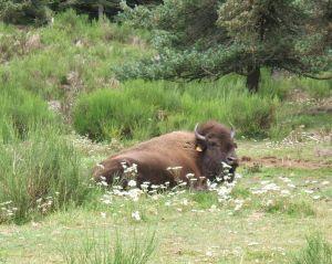 Auch einige amerikanische Bisons sind in dem Reservat zum Vergleich zu sehen.