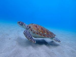 Markanter Panzer: Die Oberfläche ist bei jeder Meeresschildkröte in deutlich abgegrenzte Felder unterteilt.
