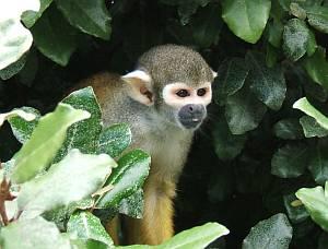 Die zierlichen Eichhörnchenaffen tummeln sich unweit des Eingangs im Blattgrün.