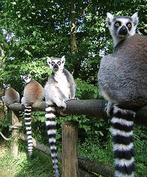 Die Lemuren der Art Maki Catta reihen sich vor ihrem Schlafgebäude auf.